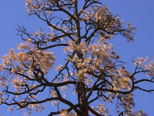 47801 BARKBEETLES12 DEAD PINE TREE