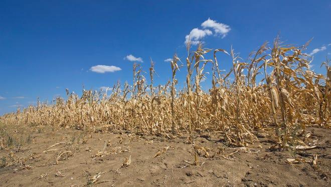 Dry corn field.