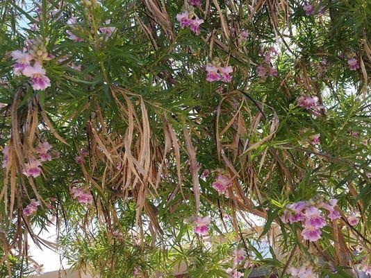Desert-Willow-2.jpg