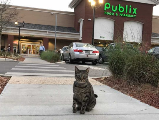 Moose the East Hill Publix  Cat waiting  for passersby