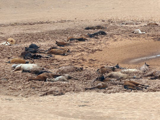 In this Tuesday, May 1, 2018, scores of dead horses are shown in a dried up stock pond on the Navajo Nation near Cameron, Ariz., apparently after getting trapped in the mud.
