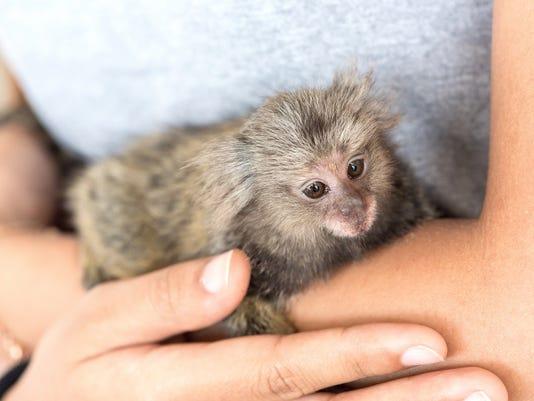 marmosets monkey on the hand.
