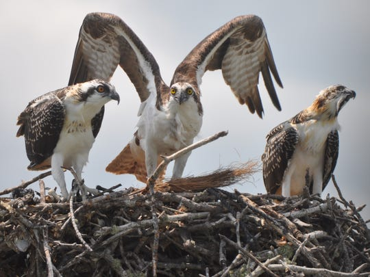Gary Lefebvre of Naples submitted this osprey parent with young.