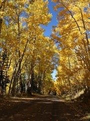 Aspen trees are changing their colors in the Lincoln National Forest's Smokey Ranger District.