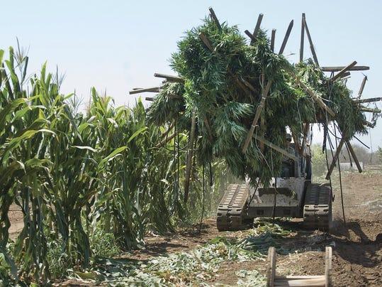 California Marijuana Unlicensed Growers