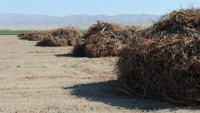 On a field in Mecca, grapevines have been uprooted to be replaced with a different crop. Farm managers say new labor requirements that are pushing costs higher have prompted some growers to remove table grapes and shift to other crops.