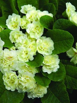 Bluestone Primula Belarina Cream.