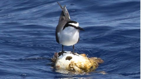 A bird takes a rest in Gulf waters. This guy was spotted during a recent boating outing to spot pelagic birds.