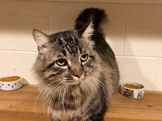 Hagrid is a 4-year-old, male, medium-haired Maine coon.