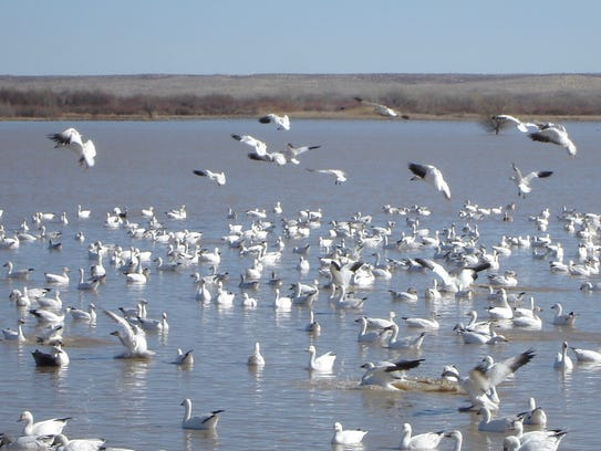 When not in nearby fields feeding, snow geese in Bosque