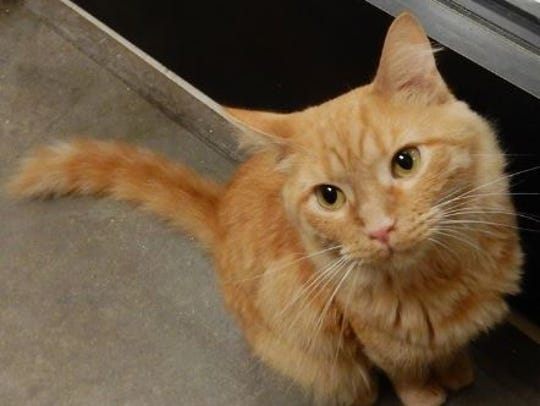 Clarence is an 18-month-old, neutered, red/gold short