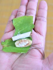 One way of chewing betel nut is with a pupulu leaf, lime powder and a form of tobacco.