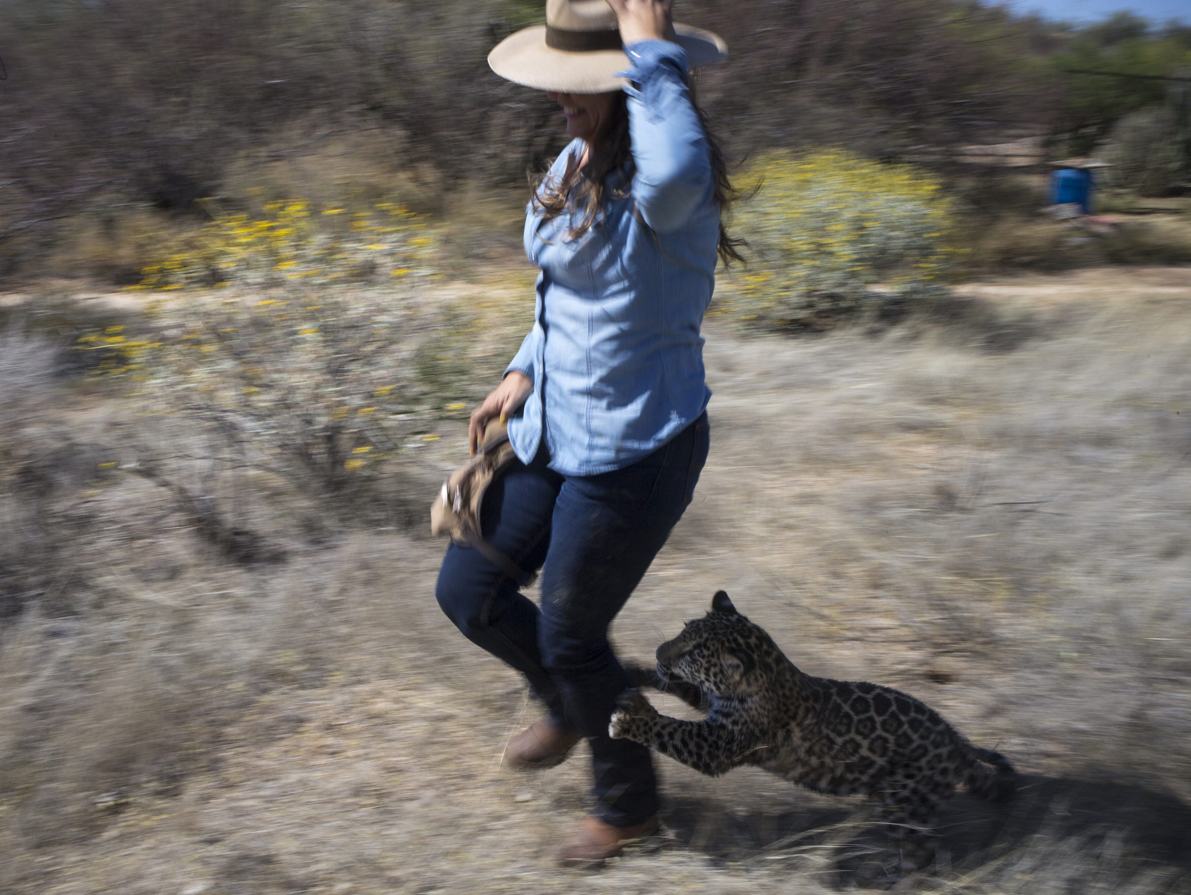 Tutu'uli, a 6-month-old female jaguar, chases Shandira
