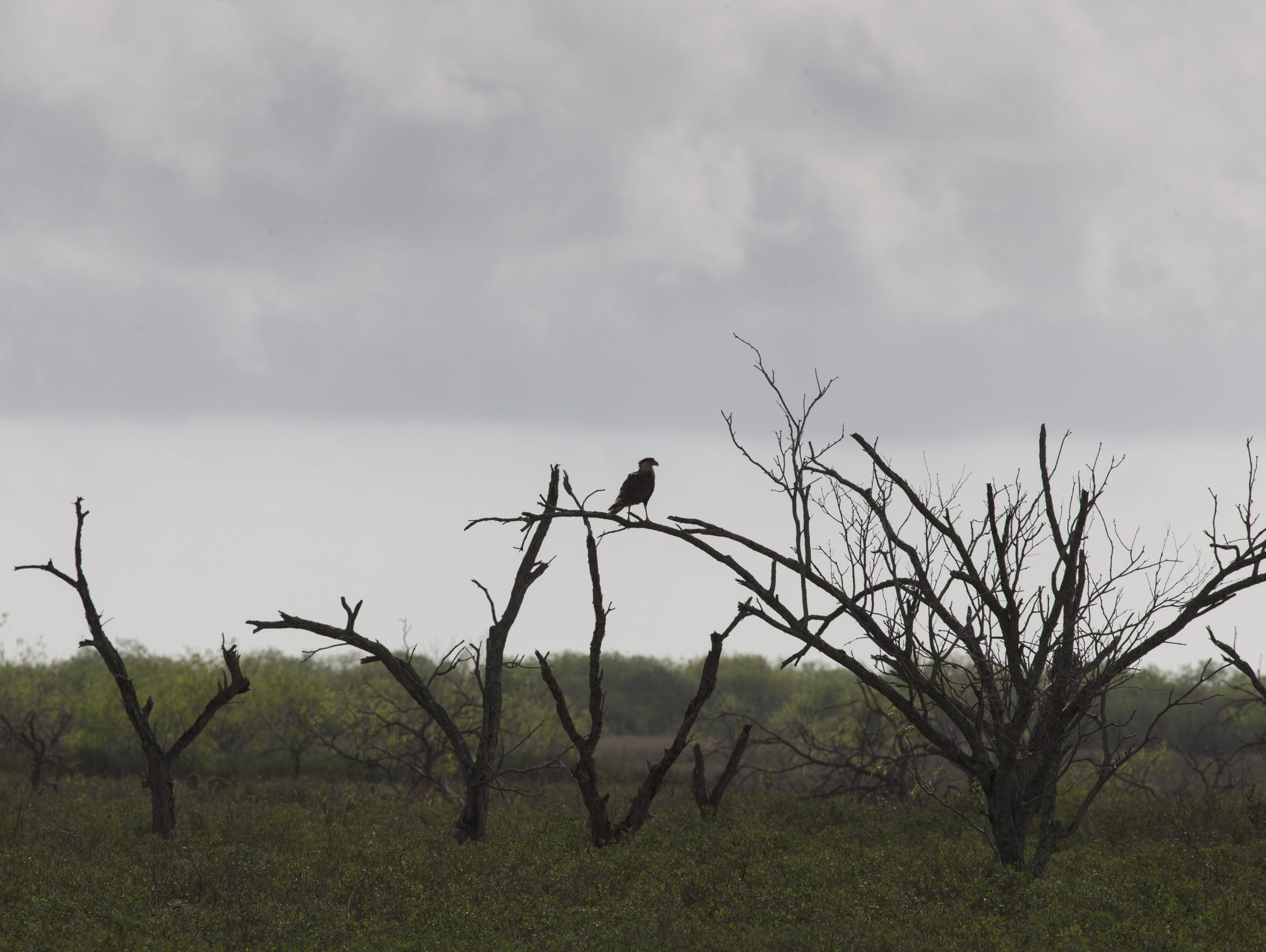 A caracara perched in a tree at Cactus Creek Ranch