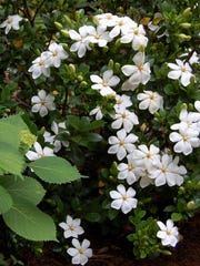 Kleim's Hardy gardenia offers single form, 3-inch white flowers that age to cream.