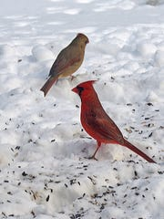 A pair of cardinals search for sunflower seeds beneath a birdfeeder.