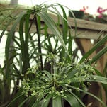 An umbrella plant's tufted flowerheads sit gracefully atop long, thin stalks.