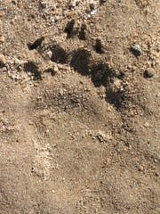 Bear track along the Apalachicola River.