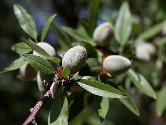 Almonds are grown almost exclusively in California,where