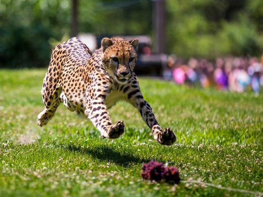 Donni runs in the yard for the Cheetah Encounter at