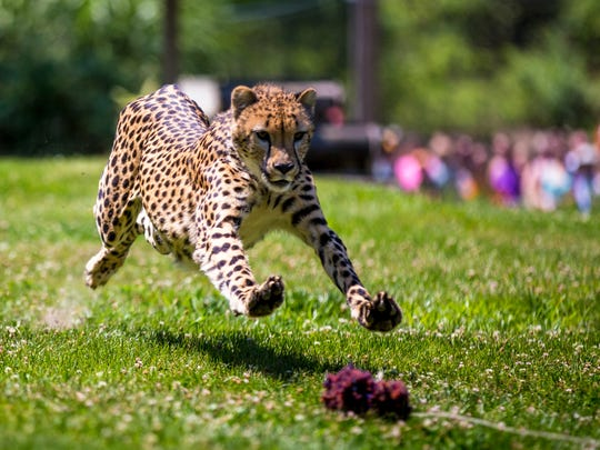 Donni runs in the yard for the Cheetah Encounter at the Cincinnati Zoo & Botanical Garden Friday, June 9, 2017. It's one of a handful of places that offer regular cheetah runs.