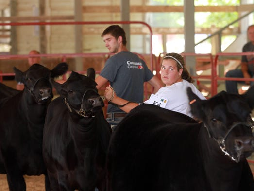 Participants line up their heifers during judging at the Johnson County Fair on Wednesday, July 23, 2014. David Scrivner / Iowa City Press-Citizen