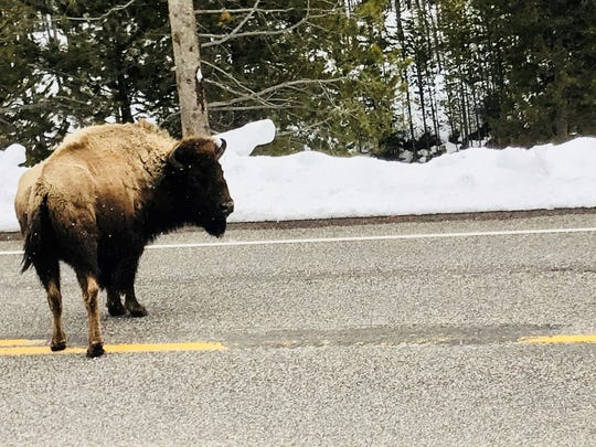 A bison looks at some cyclists riding through Yellowstone