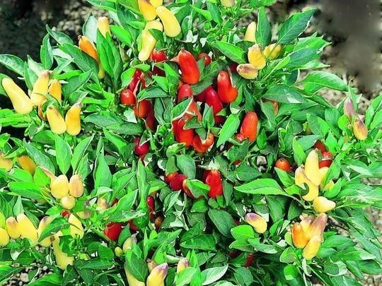 Ornamental peppers a are a good choice for annual color in the summer garden as they are heat tolerant. Pepper plants grow well in sandy, well-drained soilsand are pest resistant.