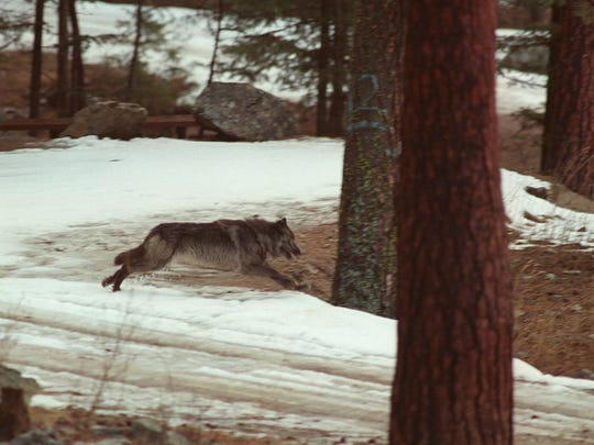 This1995 file photo shows a wolf leaping across a road into the wilds of Central Idaho north of Salmon.