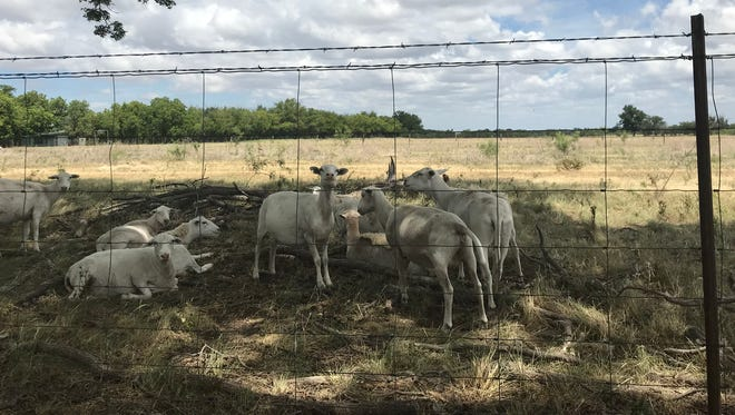 A small flock of sheep enjoy the shade of a large pecan tree on a hot afternoon in West Texas.