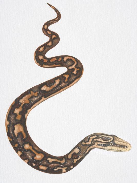 Illustration, slithering Carpet Python (morelia spilota).