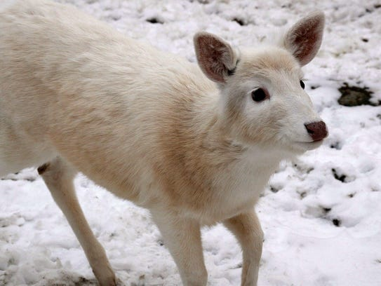White deer at the former Seneca Army Depot. Photo from