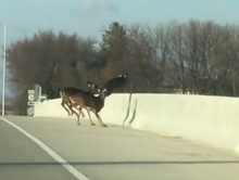 'I was just in shock': Iowans witness deer leap to their deaths as seen in viral video
