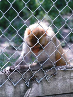 One of the primates at Cricket Hollow Zoo, photographed in June 2012.