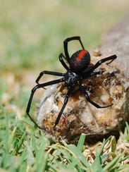 The black widow likes to hide in cinder blocks, under chairs and wood piles. Fall is one of the most likely times to encounter them indoors.