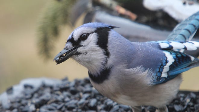 A blue jay visits the feeder of reader Janie Ferguson.