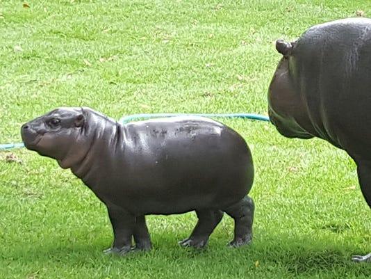 636033963061257027-hippo.jpg