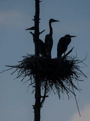 Young herons roost in one of more than 20 nests in a rookery in Bakersfield on Tuesday, July 11, 2017.