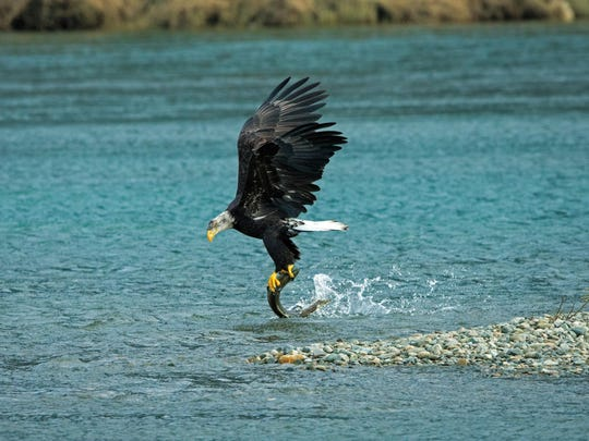 """The Catch"" – an eagle lands a fish in a photo John Chaney captured during his long career documenting the raptor species."
