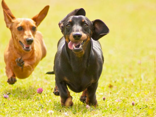 Miniature Smooth Haired Dachshunds