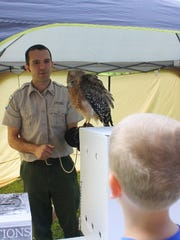 Interpretive Naturalist Adam Haas returns a red-shouldered hawk to its crate after a breakfast during the Hardy Lake Centennial celebration in Scottsburg on Saturday. July 30, 2016