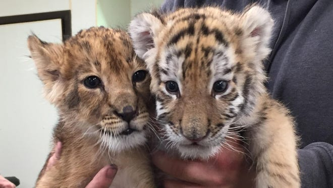Zuri the lion and Nadya the tiger, two cubs born late last year at Six Flags Great Adventure in Jackson.