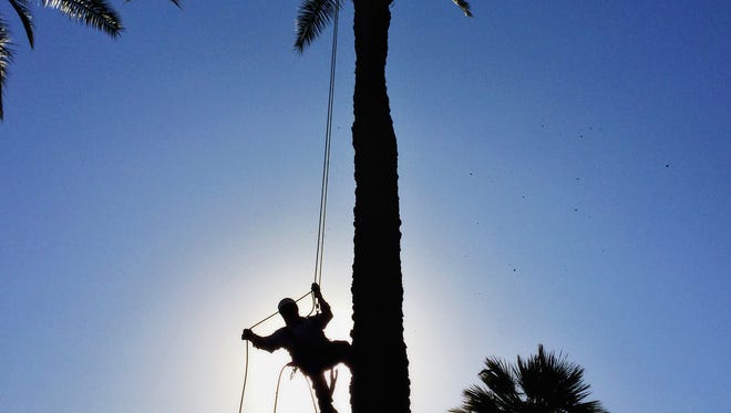 Roberto Najera trims a date palm, May 4, 2016, near 60th Street and Camelback Road in Phoenix.