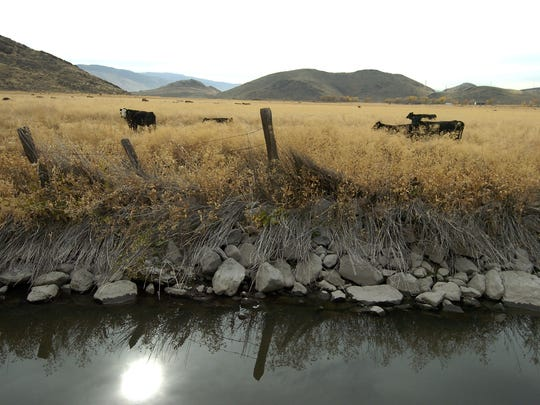 Cows wander the Butler Ranch across the canal from the Heron's Landing development on Wednesday, Nov. 1, 2006. Floodwaters from the New Year's Eve flood from last year filled the area, leaving only the tops of the fence posts showing.