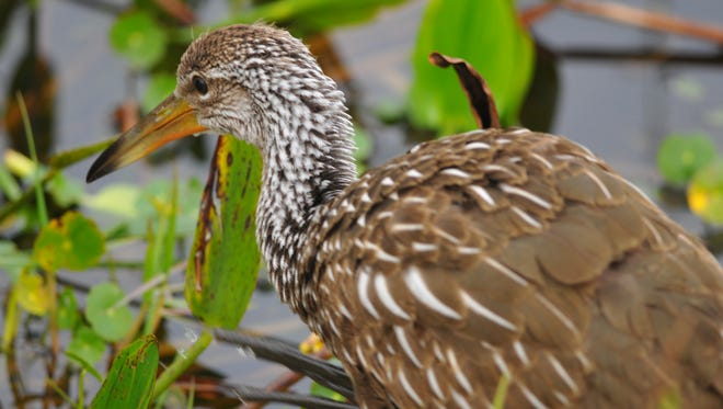 The Space Coast Birding and Wildlife Festival, scheduled for Jan. 24 to 29 at the Titusville Campus of Eastern Florida State College. The event includes field trips to sites like the the Viera Wetlands, where this Limpkin was photographed last year.