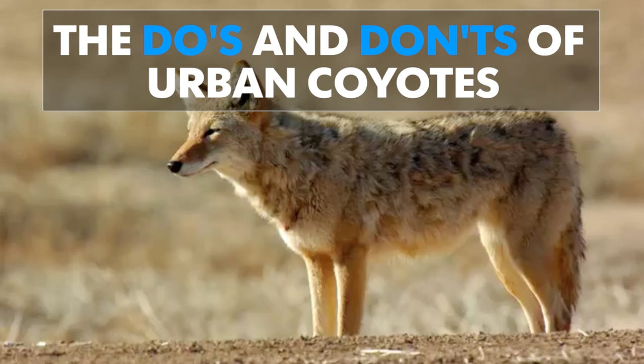 urban coyotes how to cope with these common intruders. Black Bedroom Furniture Sets. Home Design Ideas