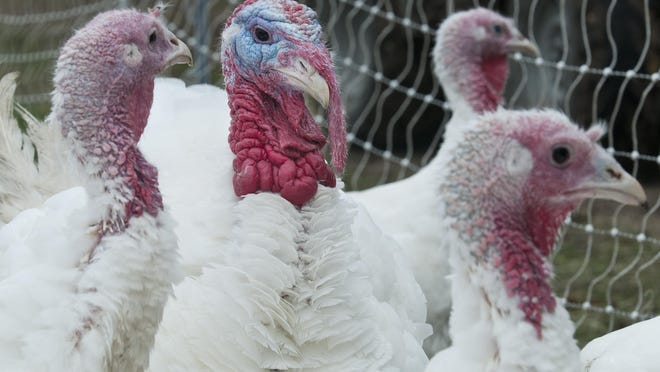 Big turkeys often taste better than smaller ones, says Richardon Farm rancher Jim Richardson, who has been raising turkeys for about 20 years.