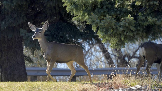 Deer feed along River Drive South in Great Falls. Hunting deer within city limits is illegal. A man has been sentenced for shooting a mule deer buck in Black Eagle.