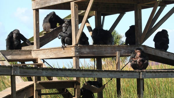 Families of chimps live together on their own...