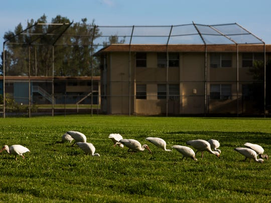 A flock of American white ibis feeds in the middle of the grassy field where a baseball diamond formerly existed at Anthony Park on Monday, Aug. 7, 2017.